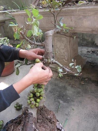 """Tien mat buc mang vi 'cay canh 502' hoanh hanh hinh anh 1 Anh Nguyễn bức xúc vì mua phải cây sung """"502""""."""