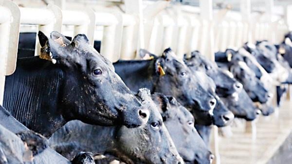Khi dai gia lam nong dan hinh anh 3 Trang trại bò sữa của HAGL.