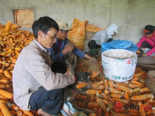Son La: Ban 1 kg ngo chua mua noi coc tra da hinh anh 1