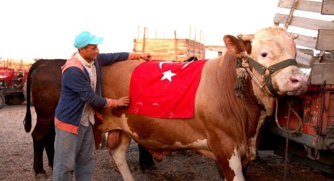 Thổ Nhĩ Kỳ hiến tế bò đực S-400 nặng 1,5 tấn cho lễ Eid al-Adha