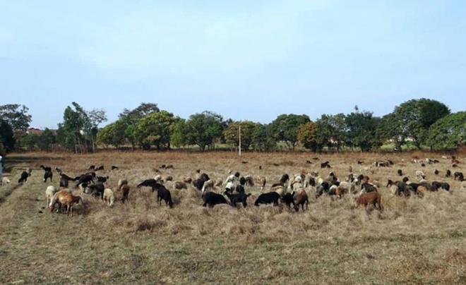 Người đàn ông Ấn Độ đổi vợ lấy 71 con cừu