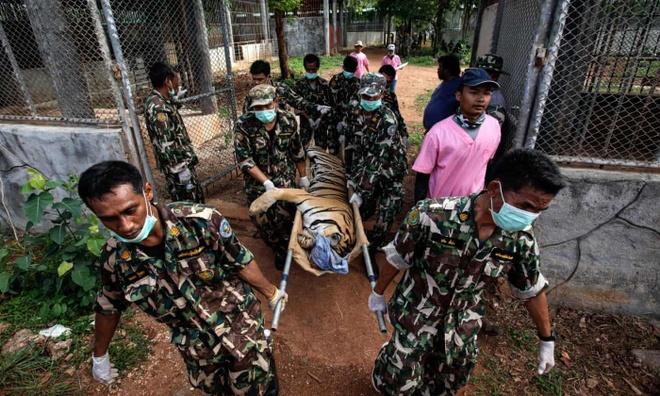 86 con hổ chết sau khi được giải cứu khỏi ngôi chùa Thái gây tranh cãi