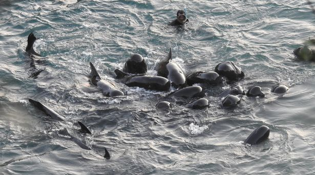 Cá voi mẹ vỗ về đàn con trước khi bị thảm sát ở Nhật Bản