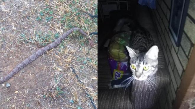 Mèo cắn chết rắn độc cứu chủ ở Mỹ