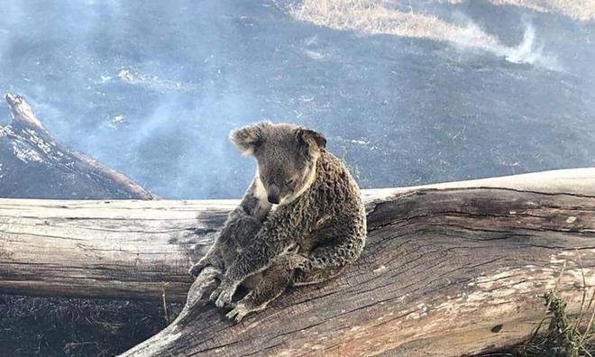 """Kết quả hình ảnh cho koala chết"""""""