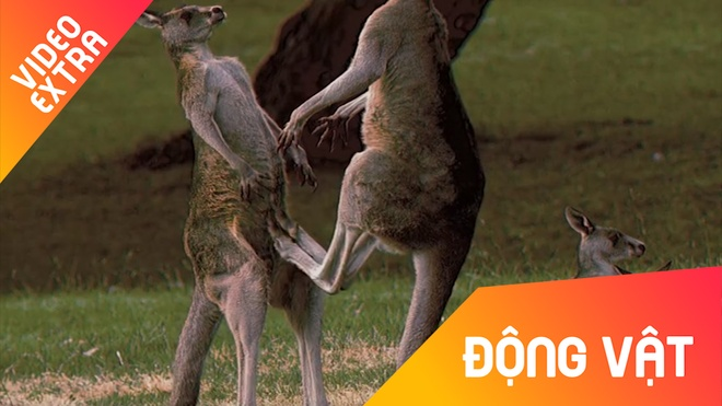 Nhung cu da dang so cua loai Kangaroo hinh anh
