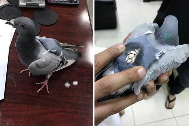 Canh sat Kuwait bat duoc chim bo cau van chuyen ma tuy hinh anh 1