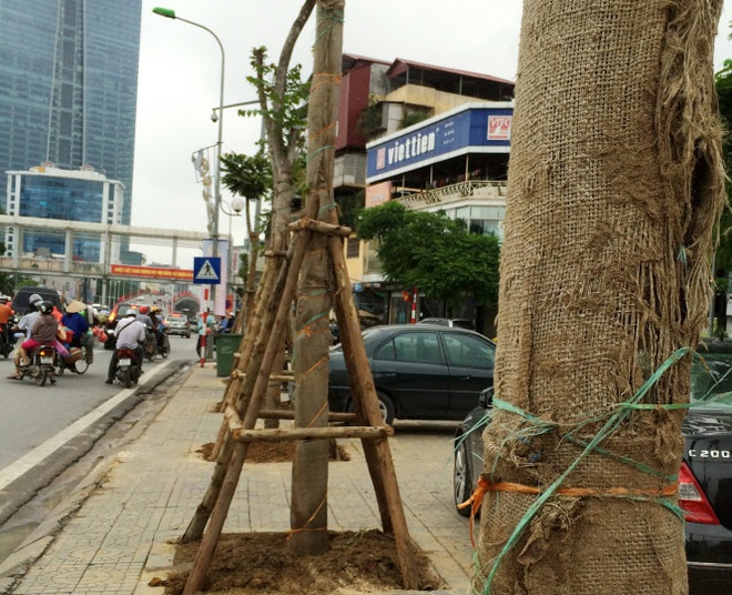 Ha Noi bat dau thay cay xanh tren duong Nguyen Chi Thanh hinh anh