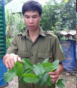 'Ma ngon' tren dat Tay Nguyen hinh anh 1 Lá ngón rất dễ tìm thấy ở Quảng Hòa