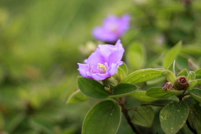 Quan Lan - bai bien dep va hoang so nhat mien Bac hinh anh 7 Với đầy sim, mua. Đến Quan Lạn vào mùa hè, bạn sẽ được đi qua những con đường xanh thẳm lá, tím ngắt hoa của loài cây này.