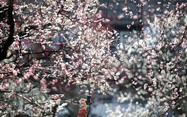 Hoa anh dao no ro khap the gioi hinh anh 7 Không chỉ có Nhật Bản, Đài Loan, Trung Quốc, sắc hồng phấn của hoa anh đào cũng tô điểm cho thủ đô nước Mỹ thêm phần tráng lệ. Tại Washington D.C, lễ hội hoa anh đào thường được tổ chức vào cuối tháng 3 và kéo dài đến giữa tháng 4. Năm nay, lễ hội hoa anh đào quốc gia ở Mỹ (National Cherry Blossom Festival) sẽ bắt đầu từ hôm nay và tiếp tục cho tới ngày 12/4.