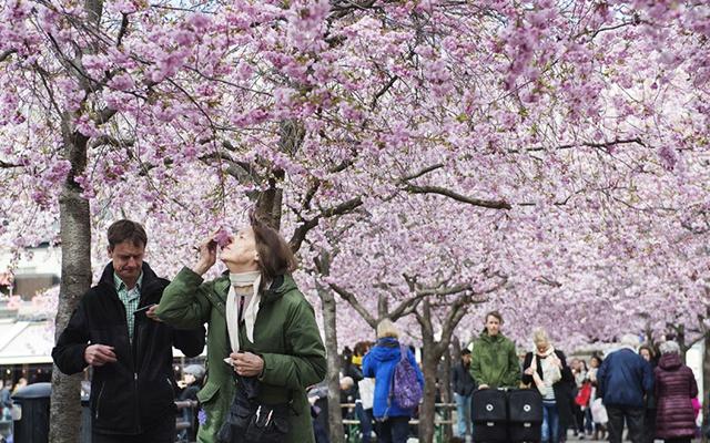 Hoa anh dao no ro khap the gioi hinh anh 9 Côn Minh ở Trung Quốc (ảnh) và Soeul ở Hàn Quốc cũng tự hào khi có nhiều cây anh đào.