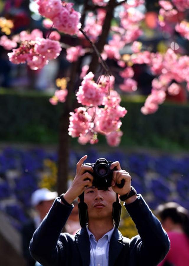 Hoa anh dao no ro khap the gioi hinh anh 10 Luôn luôn có hoa anh đào tại vườn hoa Kew, Anh.