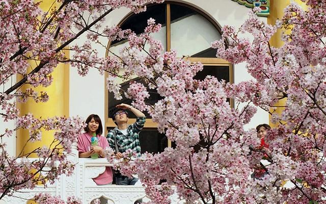 Hoa anh dao no ro khap the gioi hinh anh 1 ài Loan là một trong những nơi nhìn thấy hoa anh đào hé nở sớm nhất. Trong hình là vườn hoa anh đào tại một quán trà ở Thiên Nguyên, Đài Bắc. Những cánh hoa anh đào mỏng manh, phủ sắc trắng hồng tạo thành một bức tranh thiên nhiên lộng lẫy.