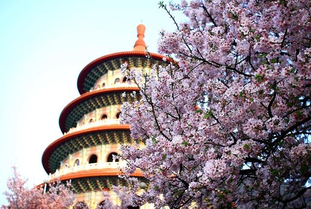 Hoa anh dao no ro khap the gioi hinh anh 2 Nhiều cây anh đào được trồng ở Đài Loan bởi người Nhật định cư tại đây vào giữa những năm 1895 và 1945.