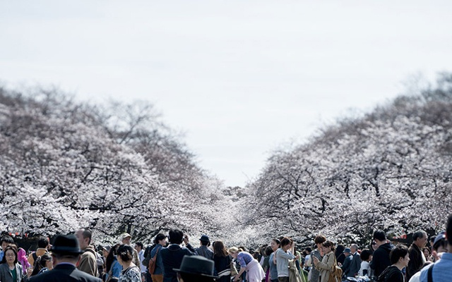 Hoa anh dao no ro khap the gioi hinh anh 4 Lễ hội hoa anh đào Hanami thường đi kèm với những bữa tiệc rượu ngoài trời, những bài hát ca ngợi vẻ đẹp của hoa anh đào… Lễ hội thường kéo dài từ một hoặc hai tuần tại đảo Okinawa và phía Bắc của Hokkaido.