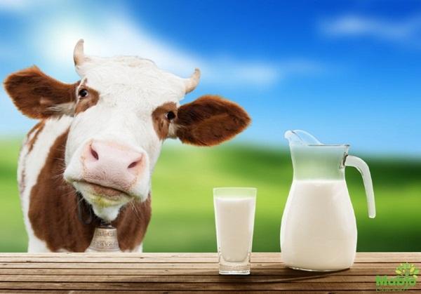 Sữa bò gây tranh cãi trong suốt 10.000 năm qua - Dinh dưỡng