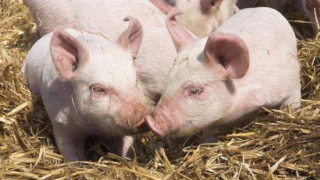 Tim lợn có thể dùng để cấy ghép cho người
