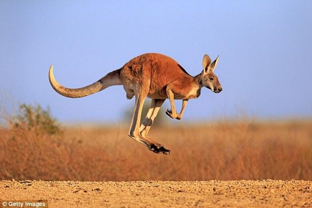 Kangaroo tan cong lam 3 nguoi bi thuong o Australia hinh anh 2