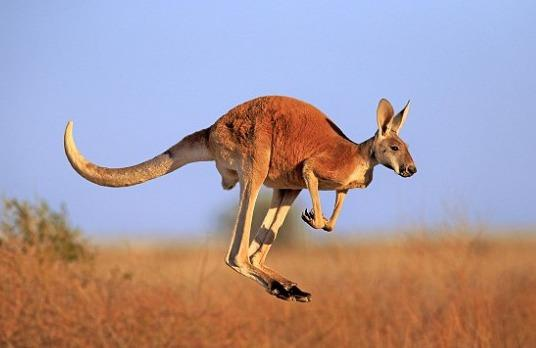 Kangaroo tan cong lam 3 nguoi bi thuong o Australia hinh anh
