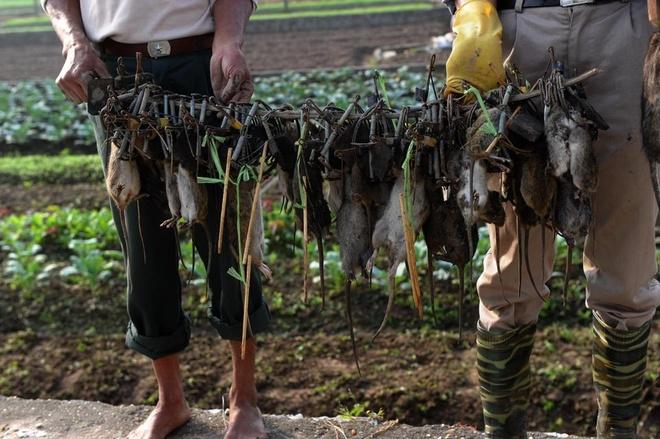 'Vua diet chuot' cua Viet Nam len bao nuoc ngoai hinh anh 2