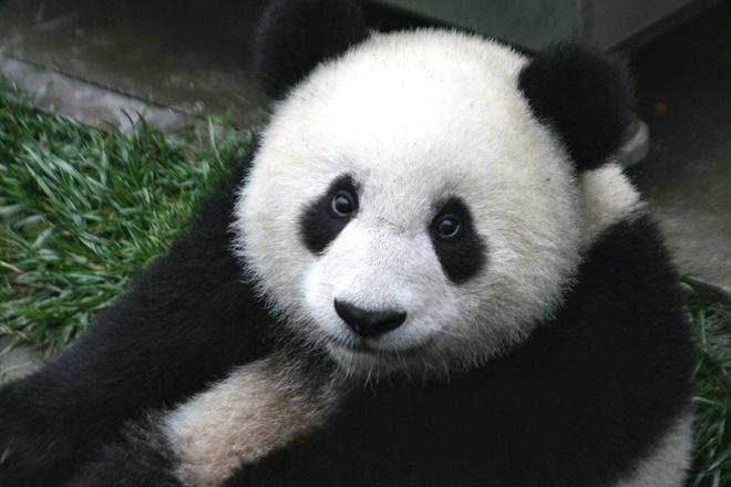 Chien dich giai cuu gau truc sau dong dat Tu Xuyen nam 2008 hinh anh