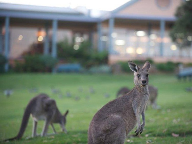 Choi golf cung 300 con kangaroo tai Australia hinh anh 2