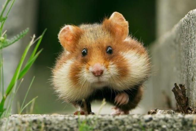 Chuot hamster ham an mac ket vao co chai hinh anh