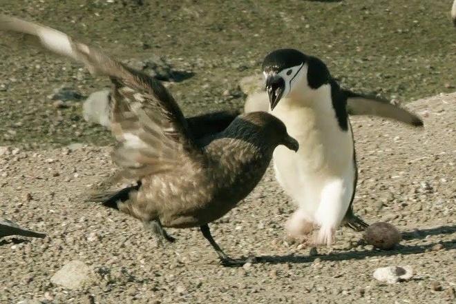 Chim cuop bien tra gia vi cuop trung cua canh cut hinh anh