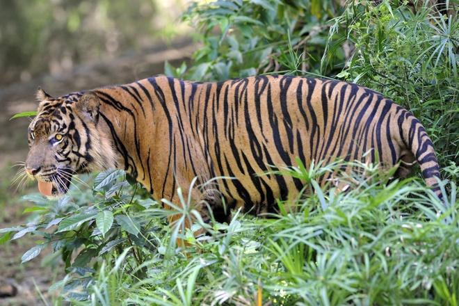Phát hiện hổ hoang lang thang gần Knoxville, Mỹ. Ảnh: AFP.