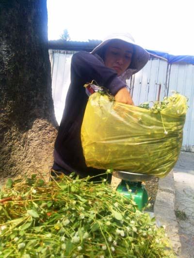 Nhờ bán loại cây này, người bán mỗi ngày có thể lời hơn 1 triệu đồng.