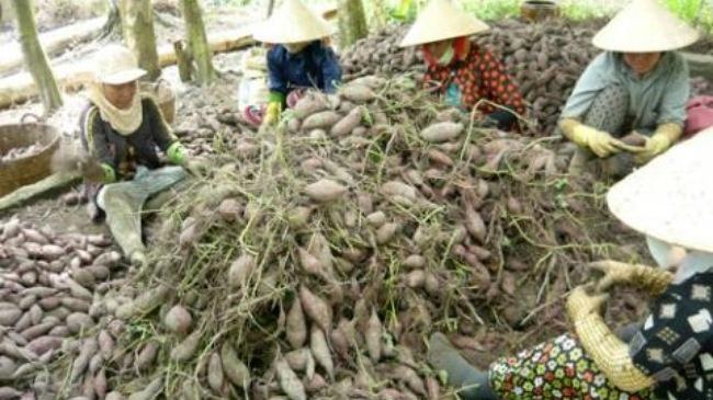 Vinh Long: Thuong lai ngung mua khoai, nong dan kho khan hinh anh