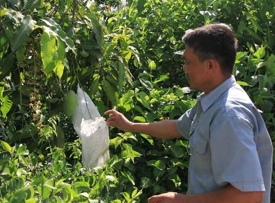 Bao trai cay khien vo chuyen xanh sang vang hinh anh 1 Nhà vườn sử dụng bao trái để bọc xoài nhưng chính họ cũng không dám ăn.