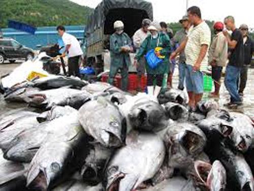 Ca ngu chat vat vuot dai duong hinh anh 1 Cá ngừ đại dương tại cảng cá Phú Yên.
