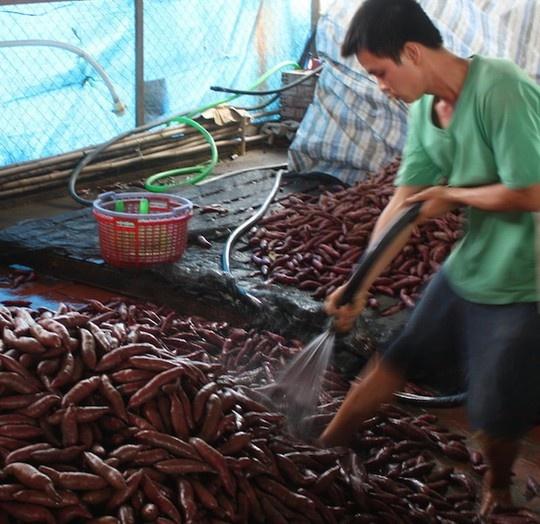 Khoai lang tim Vinh Long chua toi 1.000 dong mot kg hinh anh 1 Sơ chế khoai lang chuẩn bị đóng thùng ở Vĩnh Long.