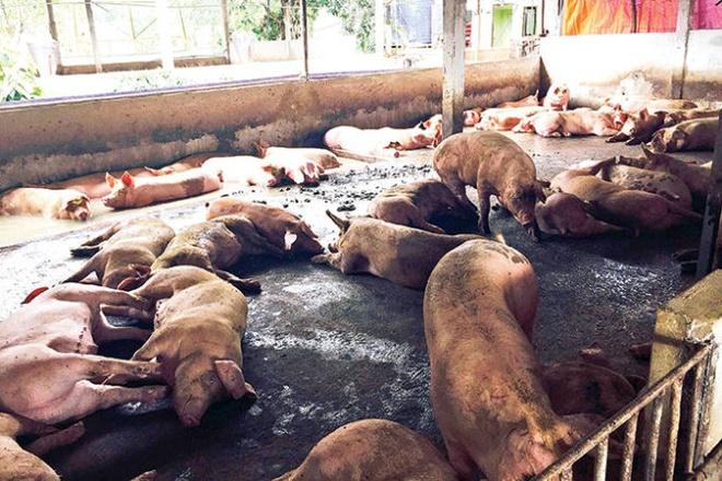 Sẽ xử lý nghiêm hành vi xử dụng chất cấm trong chăn nuôi. Ảnh: Tuổi Trẻ.