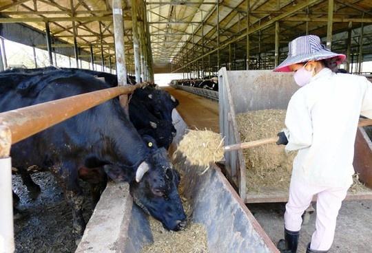 Bo Kobe 'made in 100% Viet Nam' sap xuat chuong hinh anh 2 Công nhân phải chăm sóc cho bò 24/24 giờ.