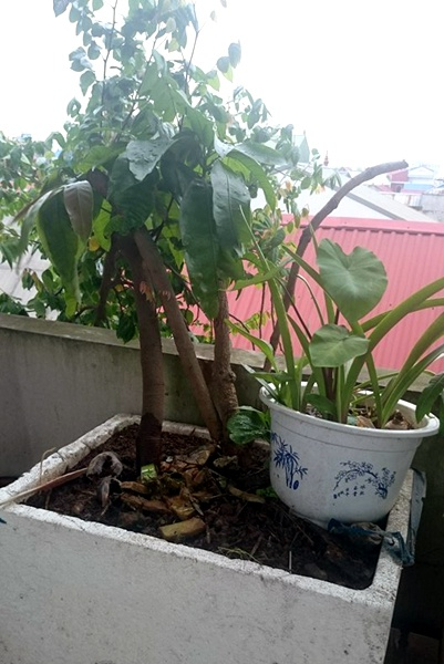Dan thu do trong ca vuon qua sach tren san thuong hinh anh 1 Người dân Hà Nội chi tiền triệu để đưa cây ăn quả lên trồng trên sân thượng.