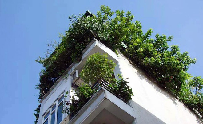 Dan thu do trong ca vuon qua sach tren san thuong hinh anh 3 Sân thượng nhiều nhà được phủ xanh bởi rau và cây ăn quả.