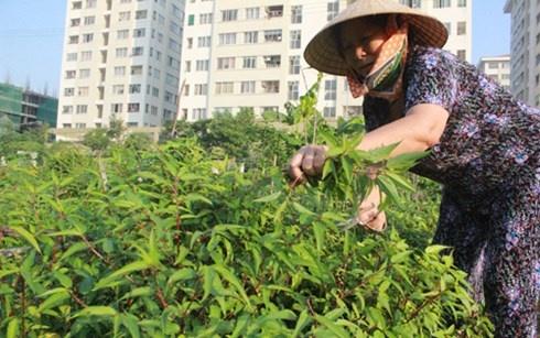 Nguoi Ha Noi dua nhau lam 'nong dan' trong rau sach hinh anh 4 Bà Hội đang hái rau đay do do đích thân mình chăm sóc.