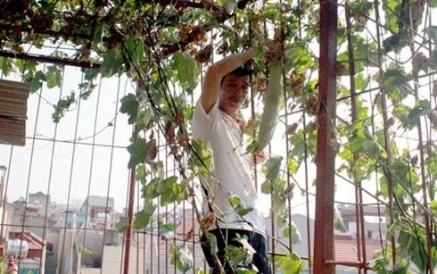 Nguoi Ha Noi dua nhau lam 'nong dan' trong rau sach hinh anh 1 Ông Ly thu hoạch mướp trồng trên nóc tầng 4 nhà mình.