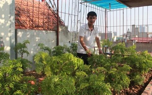 Nguoi Ha Noi dua nhau lam 'nong dan' trong rau sach hinh anh 2 Ông Ly rất tâm đắc với vườn rau đinh lăng vừa sạch vừa bổ này.