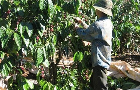 Nông dân Đắk Lắk thu hoạch cà phê.