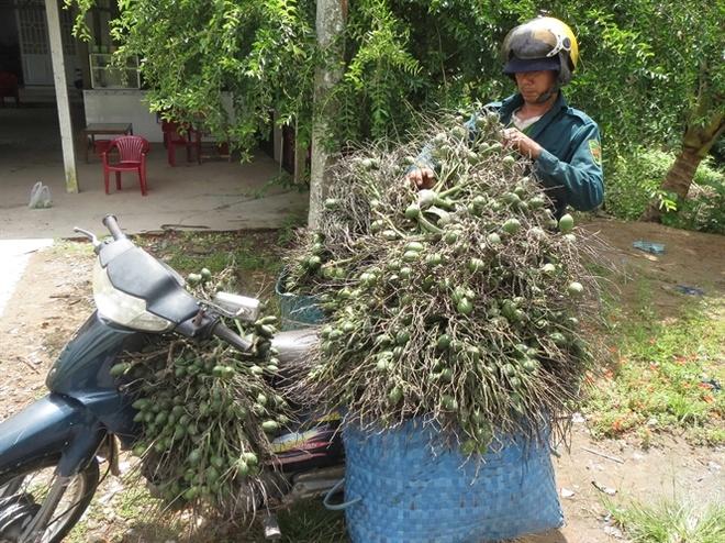 Nghe treo cay an tien hinh anh 1 Anh Phạm Hữu Phước, một người trèo cau chuyên nghiệp đang chuyển cau đến vựa ở Phong Điền... Đọc thêm tại: http://nongnghiep.vn/nghe-treo-cay-an-tien-post148180.html   NongNghiep.vn