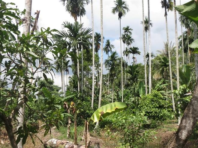 Nghe treo cay an tien hinh anh 3 Những vườn cau còn lại tại tỉnh Hậu Giang.