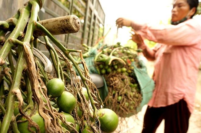 Thua Thien Hue: Thuong lai do xo san cau non xuat sang TQ hinh anh 2 Bà Bé mua tại vườn dân với giá 12 nghìn đồng/kg, bán lại cho ông Phạm Sinh (thôn Giáp Nhì, xã Hương Văn) với giá 14 nghìn đồng/kg kể cả cuống.