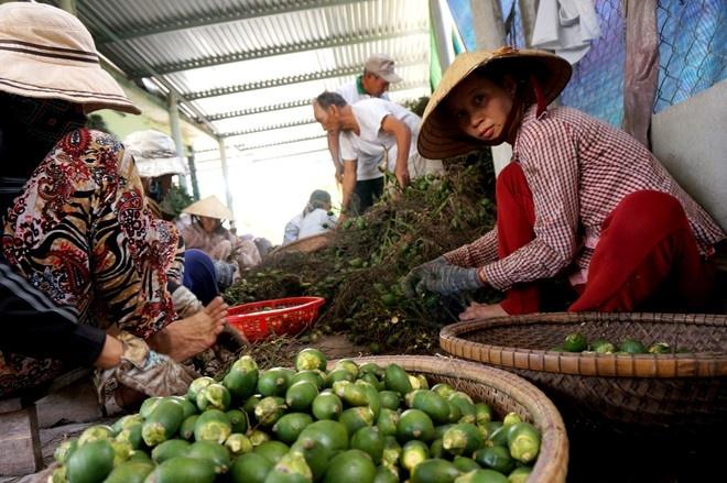 Thua Thien Hue: Thuong lai do xo san cau non xuat sang TQ hinh anh 5 Hơn 10 nhân công địa phương được ông Cường thuê để tách buồng.