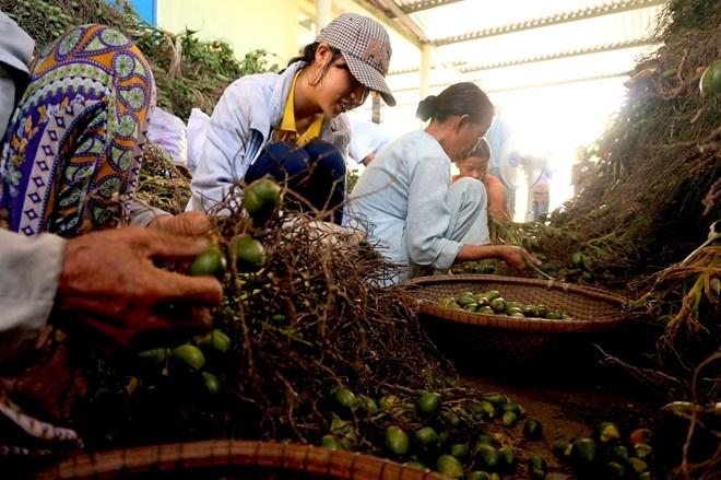 Thua Thien Hue: Thuong lai do xo san cau non xuat sang TQ hinh anh 6 Phần lớn họ là những lao động nhàn rỗi, người già, sinh viên, mỗi ngày được trả công từ vài chục đến trăm nghìn tùy vào năng suất làm việc.