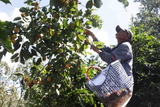 1 kg hong dac san Da Lat gia 2.000 dong hinh anh 2 Một người dân thu hoạch hồng trứng tại xã Xuân Trường bán với giá 2.500 đồng/kg sáng 30-9.
