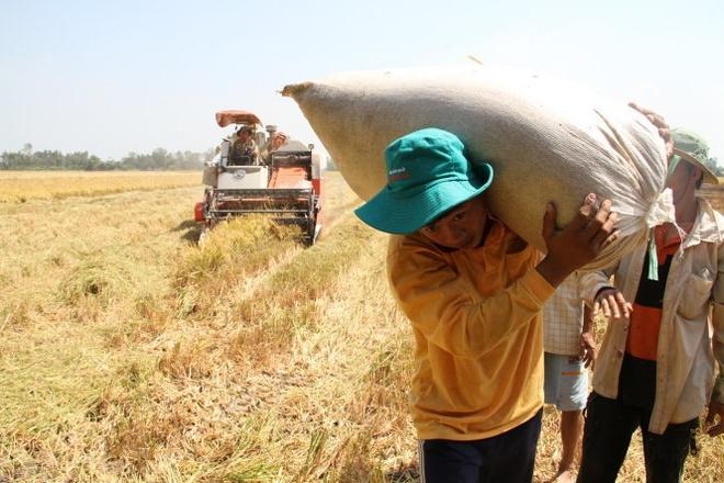 Thu nhap binh quan o nong thon: 24,4 trieu dong/nguoi/nam hinh anh 1 Không bán được lúa, nông dân chất lúa đầy trên bờ kênh suốt nhiều ngày liền chờ thương lái đến mua.
